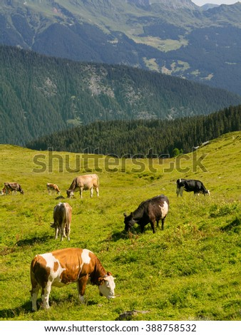 Cows grazing on a green alpine meadow, Italy.