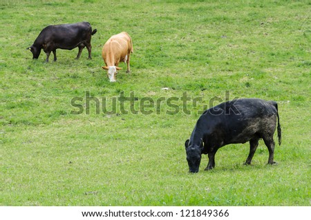 Cows grazing on a green grassland.