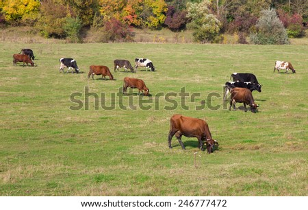 Cows grazing on a green lush meadow - stock photo