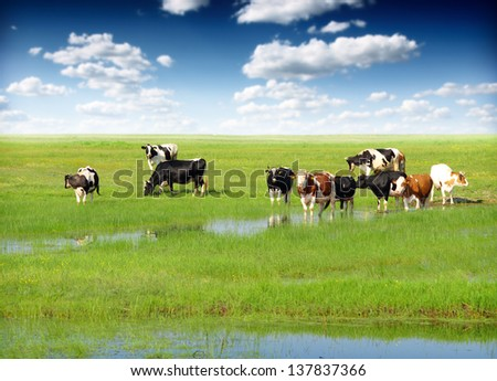 Cows grazing on a green summer meadow - stock photo
