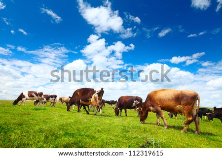 Cows grazing on a green summer meadow at sunny day