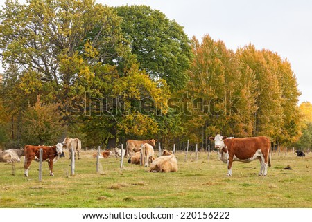 Cows grazing on a meadow in autumn landscape - stock photo
