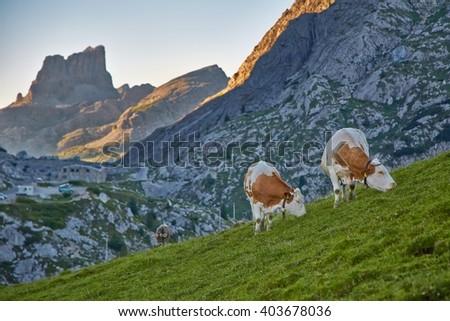 Cows grazing on an alpine field - stock photo
