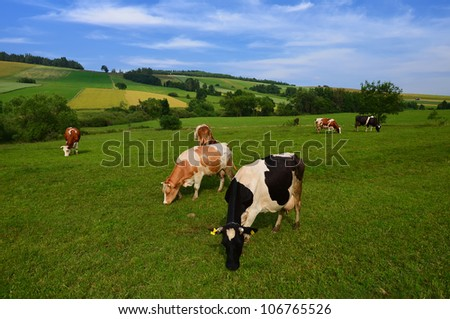 Cows grazing on green meadow in Beskid Niski Mountains, Poland - stock photo