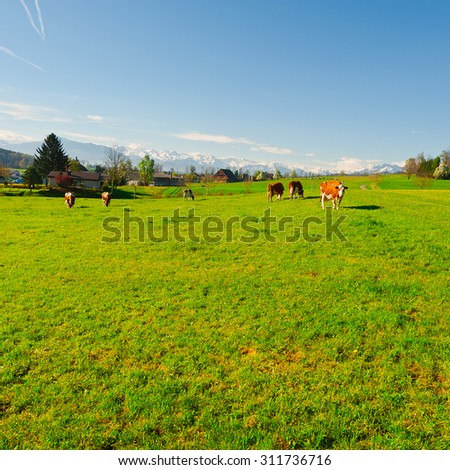 Cows Grazing on Green Pasture in Switzerland on the Background of Snow-capped Alps - stock photo
