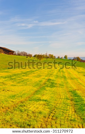 Cows Grazing on Green Pasture near the Cowshed in Switzerland - stock photo