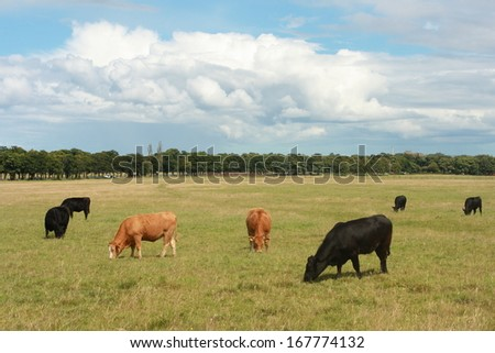 cows grazing on meadow - stock photo