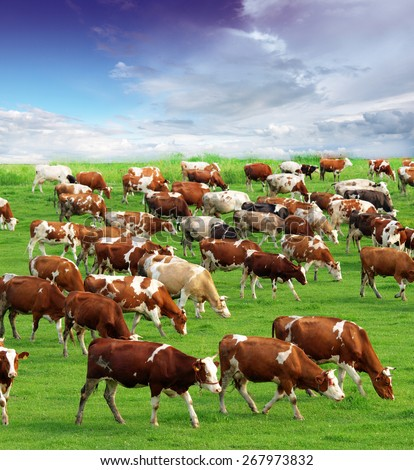 Cows grazing on pasture - stock photo