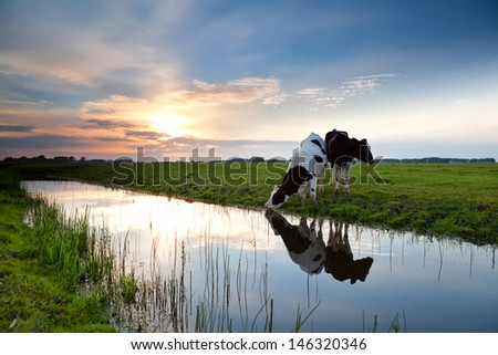 cows grazing on pasture and river at sunset - stock photo