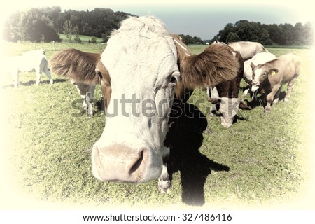 Cows Grazing on Pasture in Southern Bavaria, Germany, Retro Image Filtered Style - stock photo