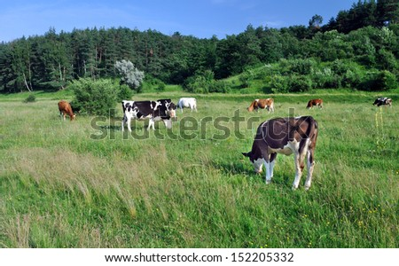 cows grazing on the field
