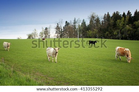 Cows grazing on wide open field with forest woods in background before sunset on sunny blue sky day - stock photo