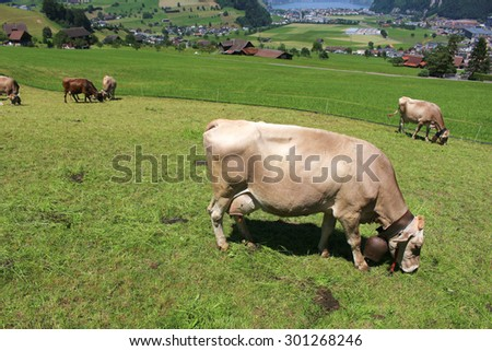 Cows grazing the grass in the hills of the Alps mountains in Switzerland on Mount stansenhorn near Lucerne - stock photo