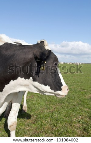 cows head on sunny farmland