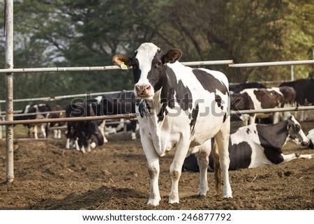 cows in a farm - stock photo