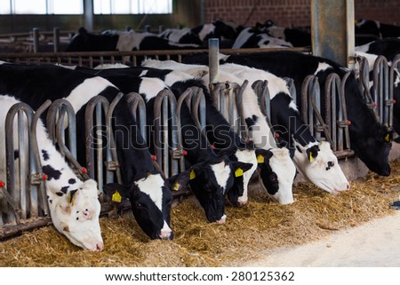cows in a farm. Dairy cows in a farm. - stock photo