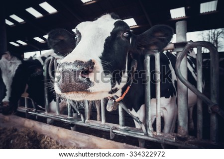 cows in a farm. Dairy cows in a farm. - stock photo