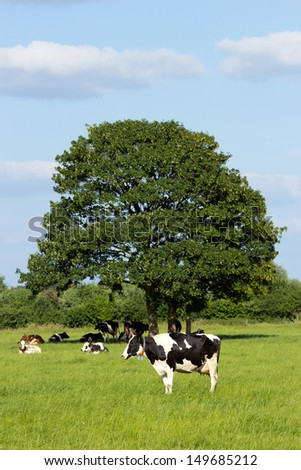 Cows in a farmland and under a tree - stock photo