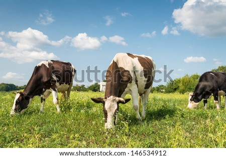 Cows in a field at sunny day - stock photo