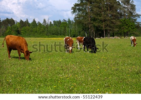 Cows in a field,  cows eat grass; - stock photo