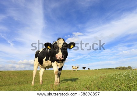 Cows in a fresh green pasture in Holland looking at the camera in summer - stock photo