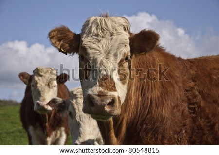 cows in a green Irish field - stock photo