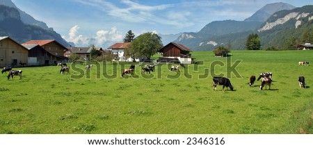 Cows in a green pasture in the mountains - stock photo