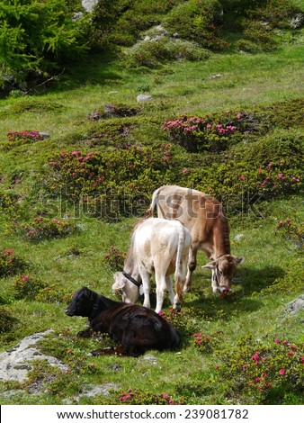 Cows in a meadow in the mountains of the  the Bernina pass in Switzerland - stock photo
