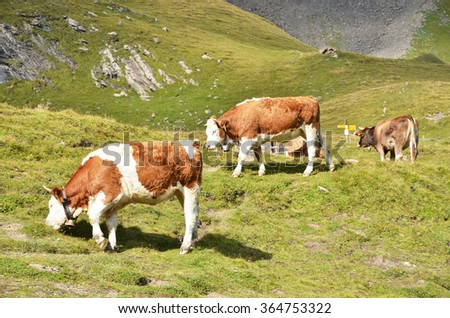 Cows in Alpine meadow - stock photo