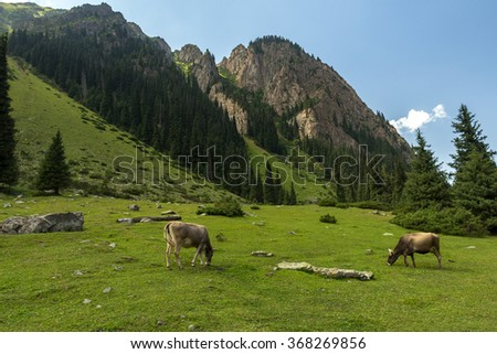 Cows in alpine meadows, mountains - stock photo