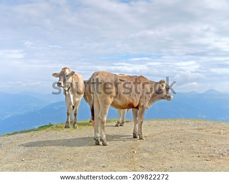 Cows in an alpine landscape - stock photo