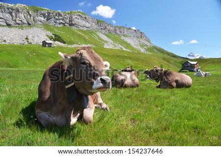 Cows in an Alpine meadow. Melchsee-Frutt, Switzerland  - stock photo