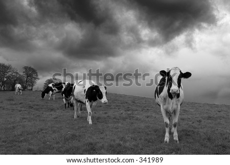 Cows in black and white in England - stock photo