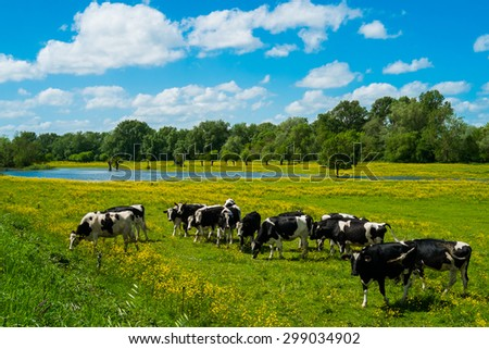 Cows in countryside in spring near Angers, France