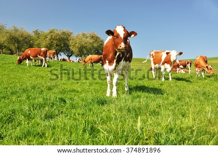 Cows in Emmental region, Switzerland - stock photo