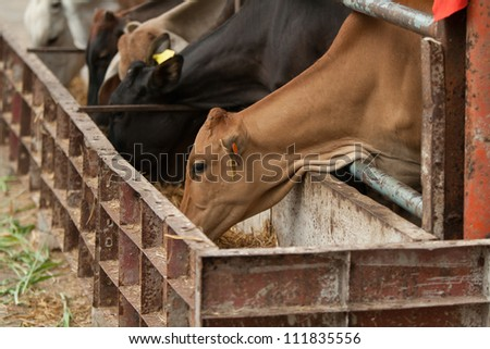 cows in farm - stock photo