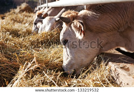 Cows in farm (Italy) - stock photo