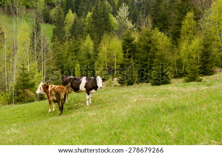 cows in field - stock photo