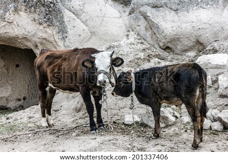 Cows in mountains  - stock photo