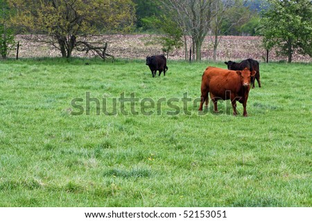 Cows in Pasture - stock photo