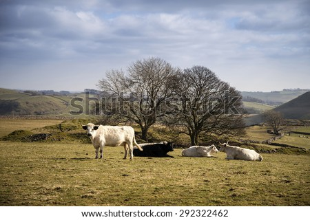 Cows in Peak District UK landscape on sunny day - stock photo