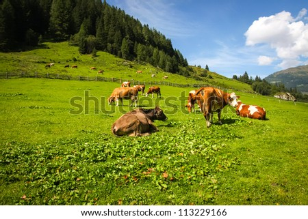 cows in the alp mountains - stock photo