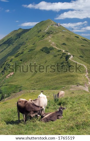 Cows in the Alps, Austria. - stock photo
