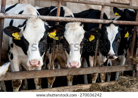Cow barn Stock Royalty Free & Vectors