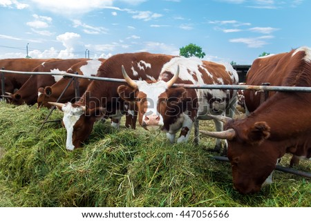 Cows in the paddock eating grass, pastoral picture. Breeding farm animals for products. Cattle on pasture. A herd of colorful cows to the ranch. Good cute ruminants even-toed ungulates. - stock photo