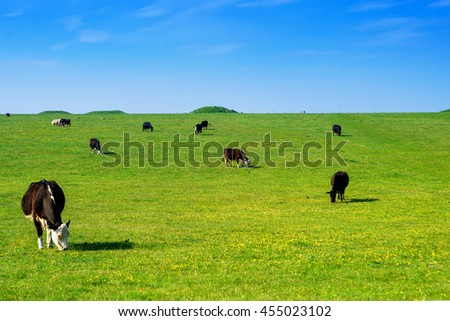 Cows in the valley in the Countryside at Stonehenge in Wiltshire in the UK. Wiltshire is a county in South West England. It is famous for many valleys and downhills. - stock photo