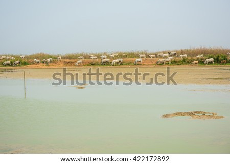 cows is drinking water in the summer river  - stock photo