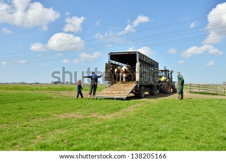 cows jump en run in green meadow after livestock transport  with tractor and trailer - stock photo