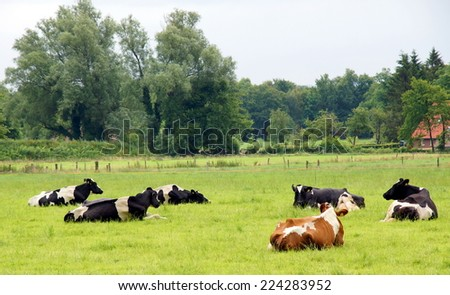 Cows laying in the grass on the dutch countryside - stock photo
