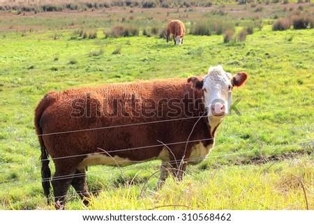 Cows looking on farmland in Australia - stock photo